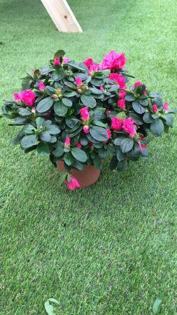 Planta Azalea Colores