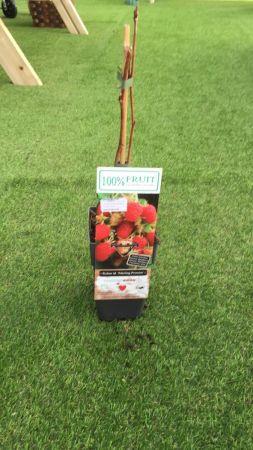 Planta Frambuesa 15 - 25 cm