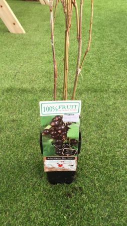 Planta Grosella Negra 15 - 25 cm