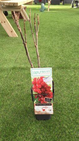 Planta Grosella Roja 15 - 25 cm
