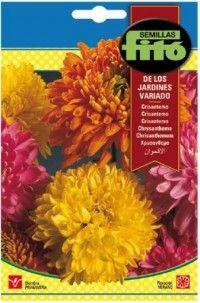 Crisantemo de los Jardines Variados