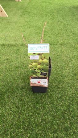 Planta Uva Crispa 15 -25 cm