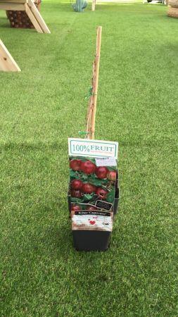 Planta Uva Crispa Roja 15 - 25 cm